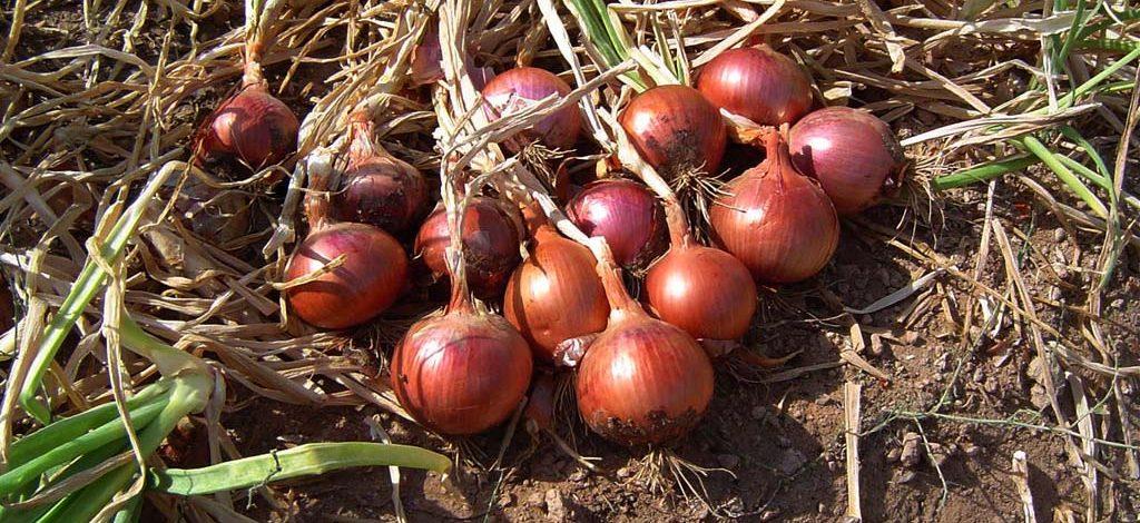 Cameroun : Comment fertiliser ses oignons