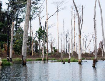 Cameroun : Des milliers d'hectares de forêts détruits par ennoiement à Lom Pangar