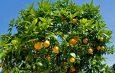 Cameroun : Comment soigner l'insomnie avec les feuilles d'oranger