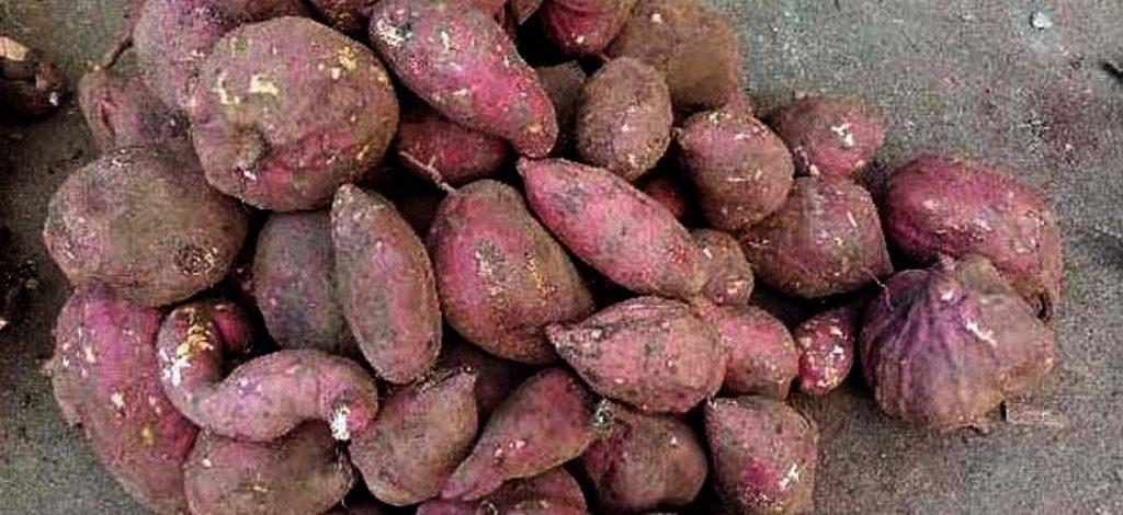 Cameroun : Consommer la patate douce ne cause pas le diabète