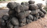 Cameroun : La culture de l'igname hors-sol