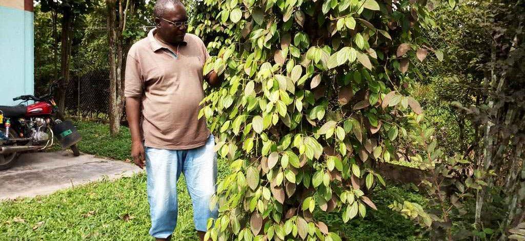 Cameroun : Le poivre de Penja tient bon