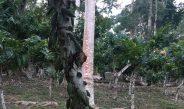 Cameroun : Quel taux d'ombrage pour le développement de la cacaoyère ?