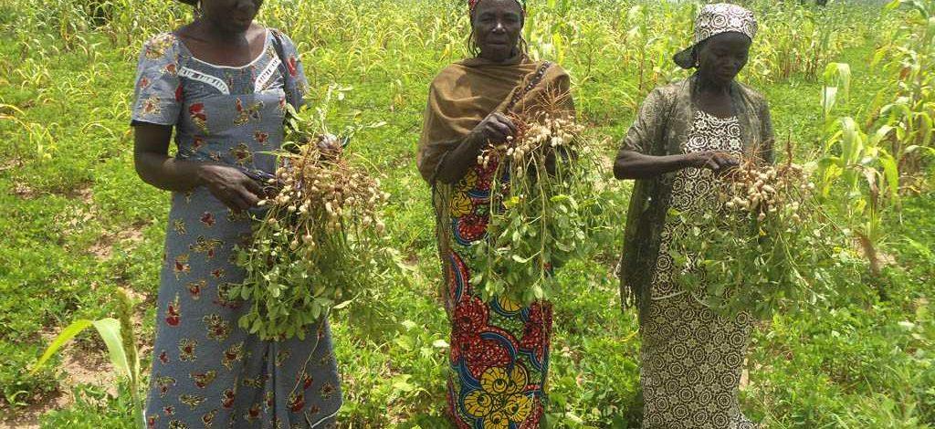 Cameroun : Quel rendement pour un hectare d'arachide ?