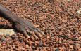 Cameroun : Un portail numérique pour la traçabilité du cacao
