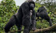 Cameroun : A Yen, les gorilles attaquent les femmes dans les champs