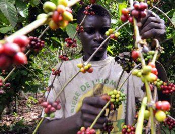 Cameroun : Un guichet de financement pour les producteurs de cacao et de café en gestation