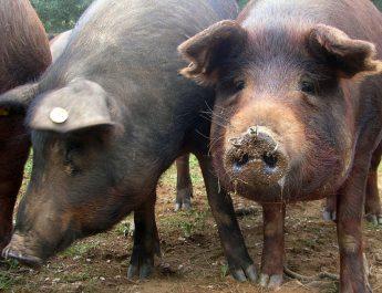 Cameroun : De quoi est constituée l'alimentation du porc ?