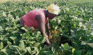 Cameroun : La culture du soja