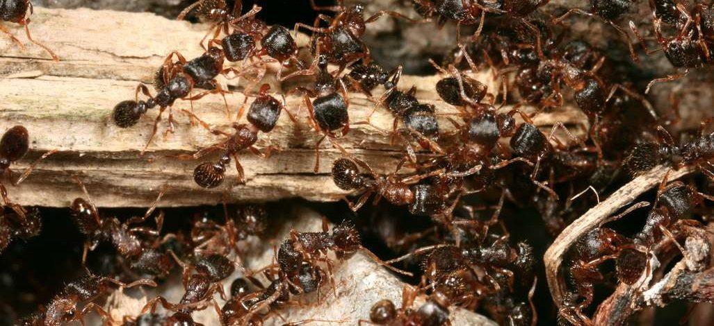 Cameroun : Comment lutter contre les fourmis autour de sa ferme par des moyens naturels ?