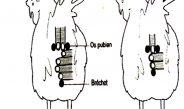 Cameroun : Le test des 3 doigts pour détecter les bonnes poules pondeuses