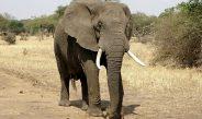 Cameroun / Extrême-Nord : Un troupeau d'éléphants en divagation dévaste des plantations