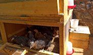 Mesures anti Covid19 : Des appuis du ProCISA pour soutenir les petits aviculteurs de l'Adamaoua et de l'Ouest