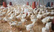 Cameroun : Une ferme peut-elle abriter les poules pondeuses et de chair ?