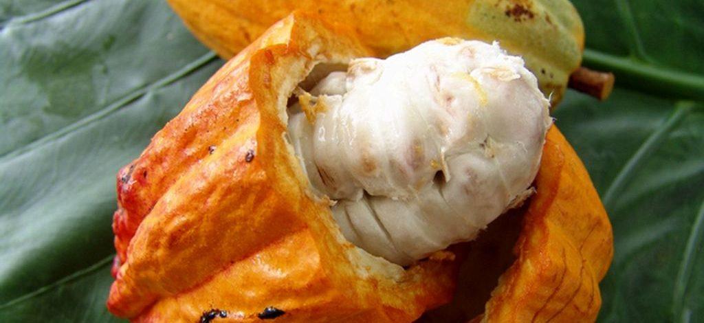 Cameroun :  Comment extraire le jus de cacao ?