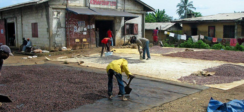 Cameroun : Sud-Ouest, La coopérative agricole de Konye opte pour la production du cacao bio