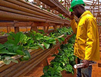 Cameroun : Technique de culture de la fraise sous serre