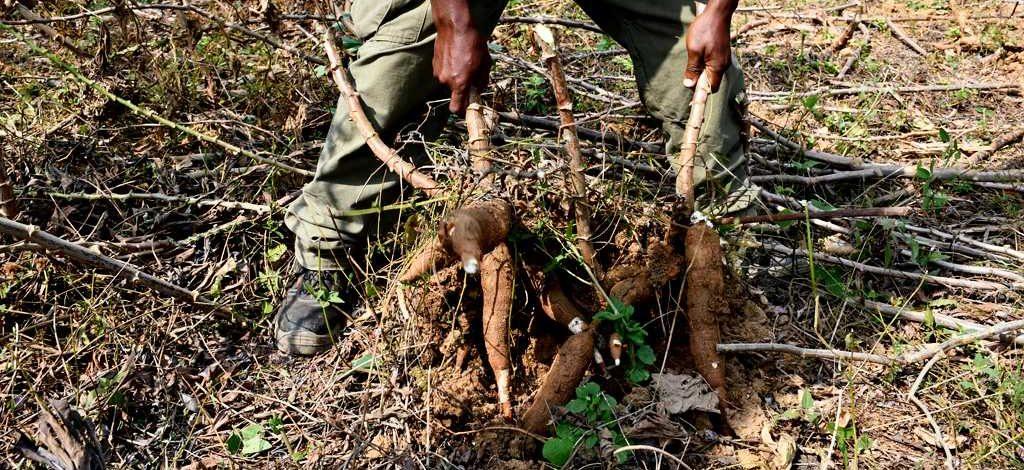 Cameroun : Y a-t-il une variété de manioc ayant un cycle en deçà de 12 mois ?