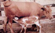 Cameroun : Un nouveau projet pour soutenir les filières bovine, porcine et piscicole
