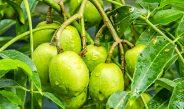 Cameroun : Comment fabriquer le jus de cassamangue ou pomme de cythere ?