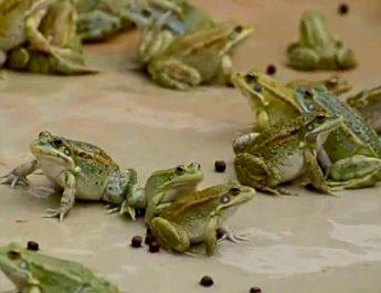 Cameroun : Elevage des grenouilles