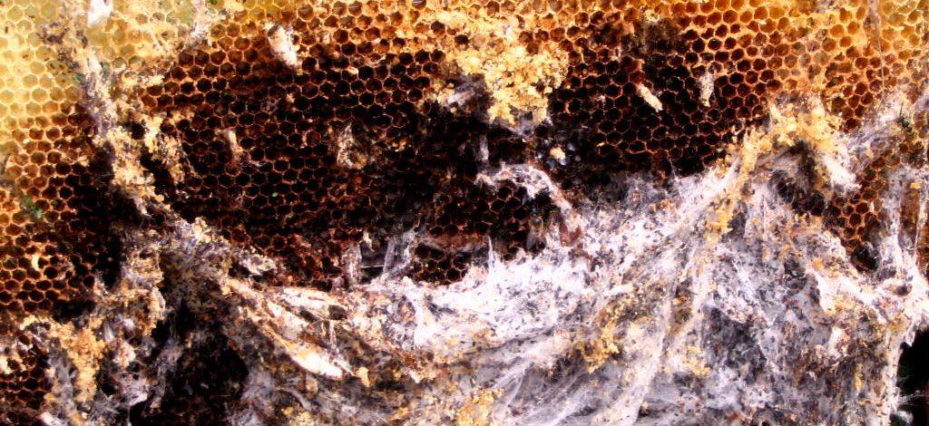 Cameroun : Lutter contre la fausse teigne dans la ruche