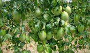 Cameroun : Le fruit de la passion
