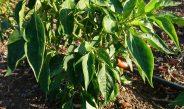 Cameroun : Comment améliorer efficacement l'arrosage de mon champ de piment