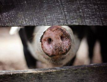 Cameroun : Comment prévenir la peste porcine africaine