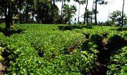 Cameroun : Cultiver le haricot blanc en septembre, une opportunité à ne pas manquer