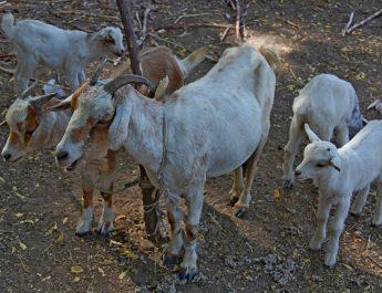 Cameroun : Est-ce que le tétanos peut attaquer les chèvres ?