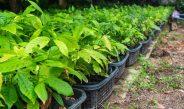 Cameroun : Pépinière et repiquage gage d'une bonne croissance des plantes