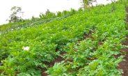 Cameroun : Atouts de la lutte intégrée contre les maladies de la pomme de terre