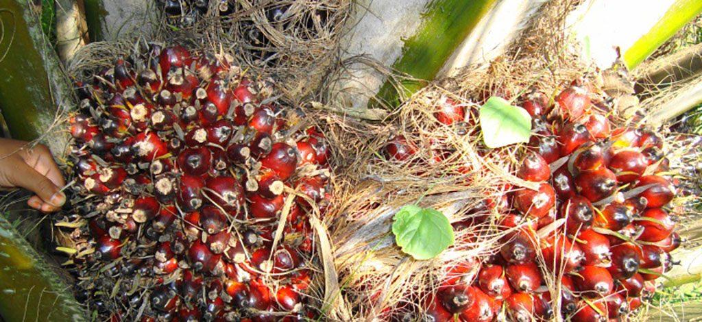 Cameroun : Urgence d'une stratégie nationale de production d'huile de palme