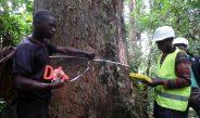 Cameroun : Opérations de pré-abattage d'un arbre