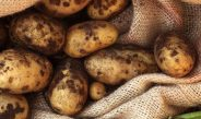 Cameroun : Lutte contre les maladies et ravageurs de la pomme de terre